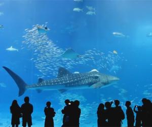 Churaumi Aquarium – najpiękniejsze oceanarium świata