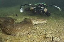 Nurkowanie z anakondami w brazylijskiej dżungli – video