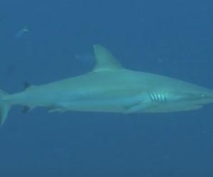 Blue Corner – nurkowa perła Palau – video