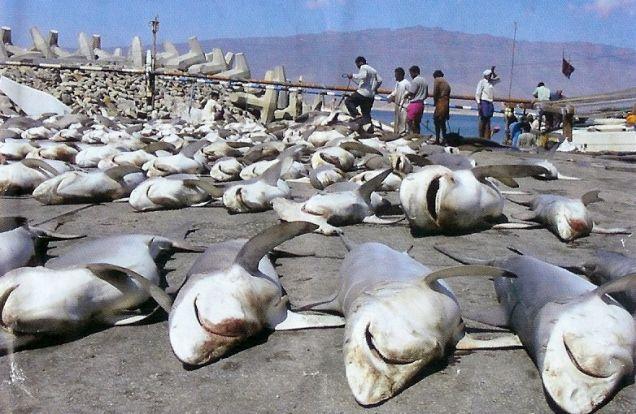Polowanie na rekiny