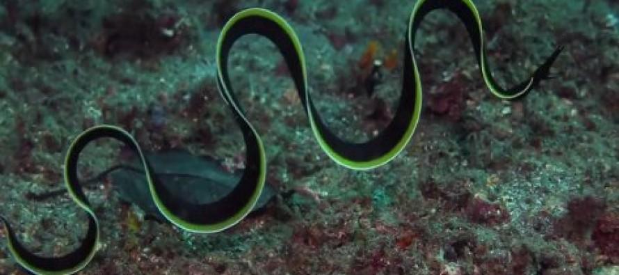 Podwodne barwy Indonezji – Lembeh Starit