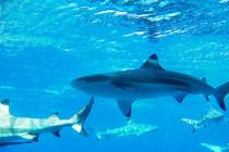 Pierwszy przypadek hybryd wśród rekinów