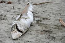 Kalifornia – Projekt ustawy zakazujący handlu płetwami rekina trafił do senatu