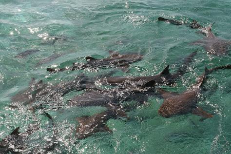 sharkleop
