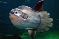 Samogłów wyłowiony w Morzu Bałtyckim