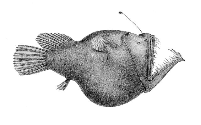 Melanocetus_murrayi_(Murrays_abyssal_anglerfish)