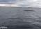 Wędkarze nagrali wieloryba, który wpłynął do Bałtyku! – video
