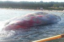Hel: Trwa skomplikowana akcja wydobycia z Bałtyku ciała martwego wieloryba