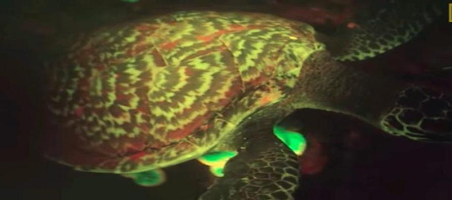 Naukowcy odkryli pierwszego fluorescencyjnego żółwia! – video