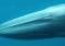 Waleń skryty w końcu sfilmowany po latach poszukiwań! – video