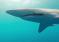 Dwóch freediverów usunęło haczyk z paszczy rekina – video