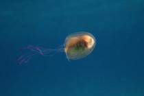 Niezwykłe ujęcia ryby połkniętej przez meduzę! – video