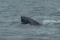 Zatoka Gdańska: akcja uwolnienia wieloryba z rybackich sieci! – video