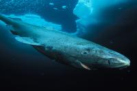 400-letni rekin polarny – najdłużej żyjący kręgowiec na Ziemi – video