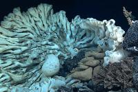 Gigantyczna gąbka odnaleziona na Hawajach może być najstarszym organizmem żyjącym na Ziemi?