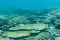 Naukowcy twierdzą, że Wielka Rafa Koralowa jest niemal martwa – video