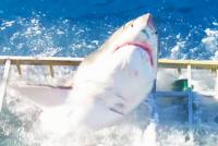 Żarłacz biały wdziera się do klatki z nurkiem! – video