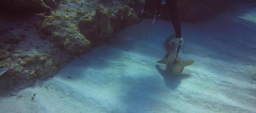 Nurek uratował rekina wyciągając nóż z jego głowy