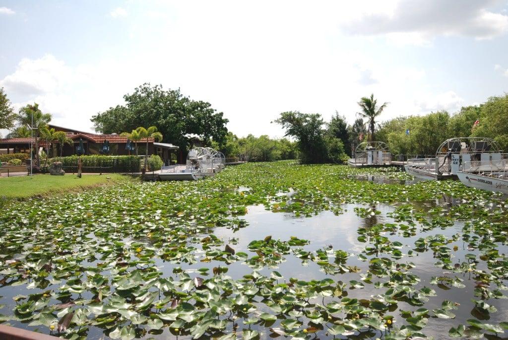 Aligator Floryda