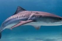 Nurek zabity przez rekina u wybrzeży Kostaryki