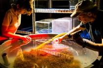 Transplantacja koralowców szansą dla Wielkiej Rafy? – video