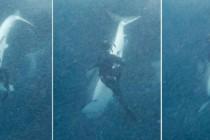 Pełne grozy spotkanie freedivera z żarłaczem białym