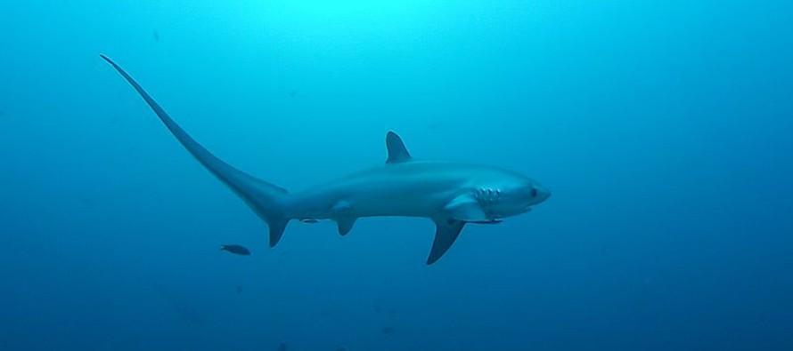 Temperatura wody tak niska, że rekiny zamarzają na śmierć!