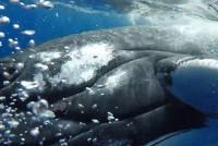 Wieloryb uratował nurka przed rekinem tygrysim – video