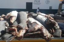 300 martwych rekinów znaleziono na poboczu drogi w Meksyku!