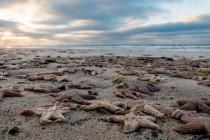 Tysiące martwych rozgwiazd wyrzuconych na brzeg…