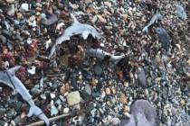 Dziesiątki rekinów młotów znalezione martwe na plaży