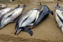Francja: W tym roku ocean wyrzucił już 1100 martwych delfinów!
