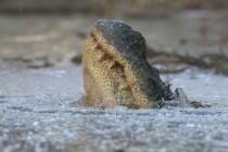 "Sroga zima ""zamroziła"" nawet aligatory! – video"
