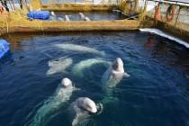 Rosyjskie władze nakazały uwolnienie prawie 100 wielorybów!
