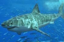 17 gatunków rekinów zagrożonych wyginięciem