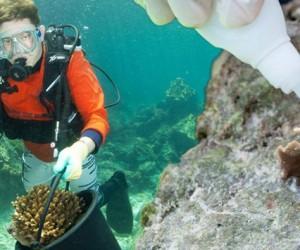 Naprawiają rafy koralowe przy użyciu…  superkleju!