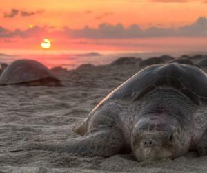 Żółwie oliwkowe w spokoju gniazdują na pustych plażach