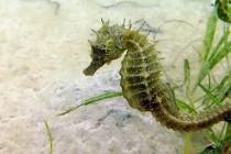 Zagrożony gatunek konika morskiego powrócił podczas kwarantanny