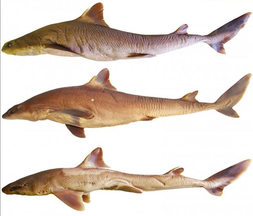 squalus-shiraii