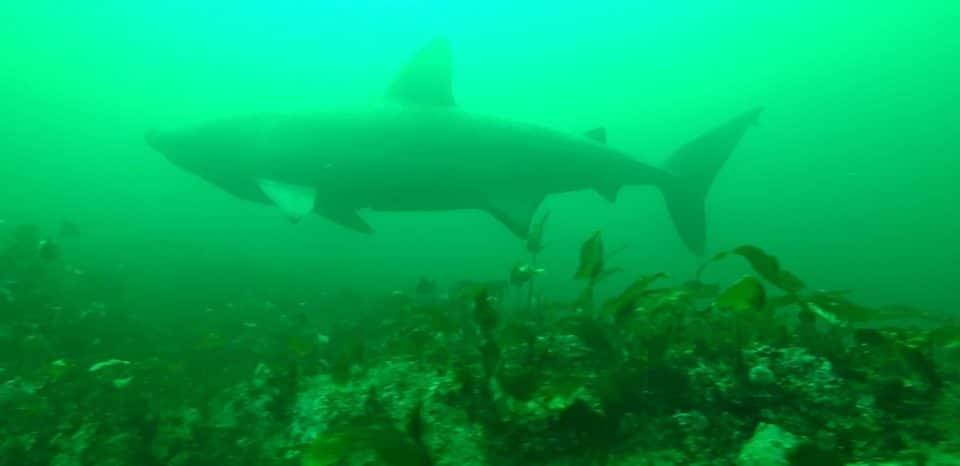 Żarłacz olbrzymi nagrany przez WHOI divers24.pl