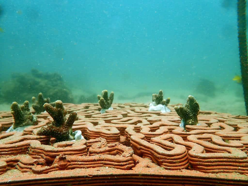 Koralowce rosnące po osadzeniu w płytce rafowej 3D Sadzonki koralowców w płytkach rafowych 3D University of Hong Kong divers24.pl