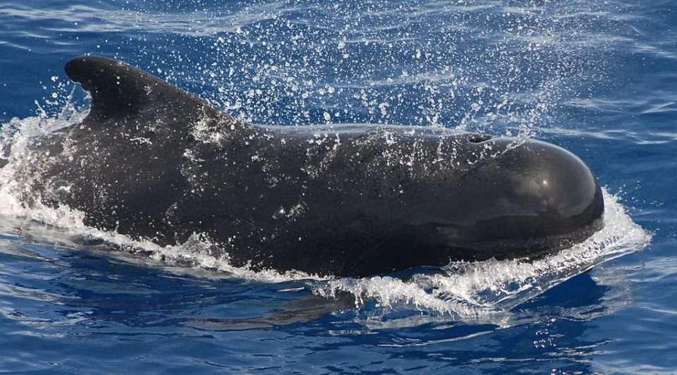 martw grindwale Australia divers24.pl
