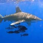 Atak żarłacza białego Egipt 2020 divers24.pl