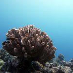 Koral na Wielkiej Rafie Koralowej w Australii