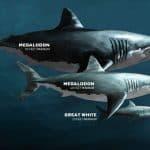 porównanie megalodona żarłacza białego i nurka