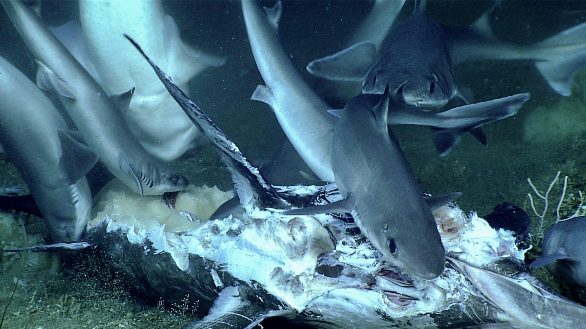 Rekiny pożerające miecznika