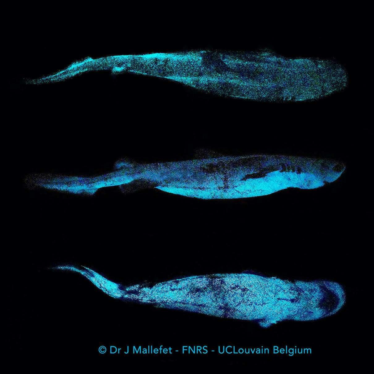 rekiny głębinowe i bioluminescencja