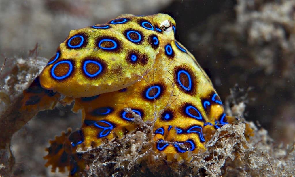 ośmiornica blue-ringed octopus