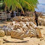 150 ton muszli małży olbrzymich Palawan