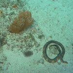 krótkonosy wąż morski odkryty w Australii